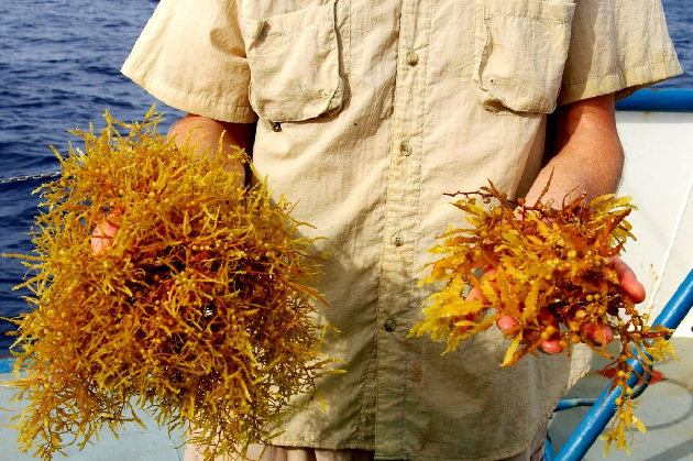 Two Sargassum Species